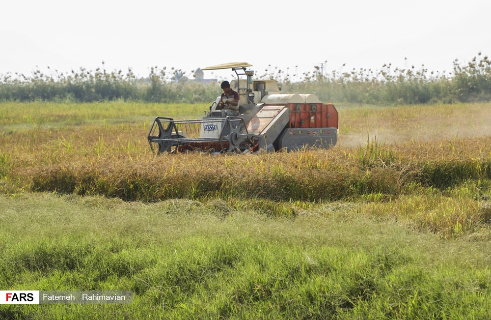 برداشت برنج در خوزستان